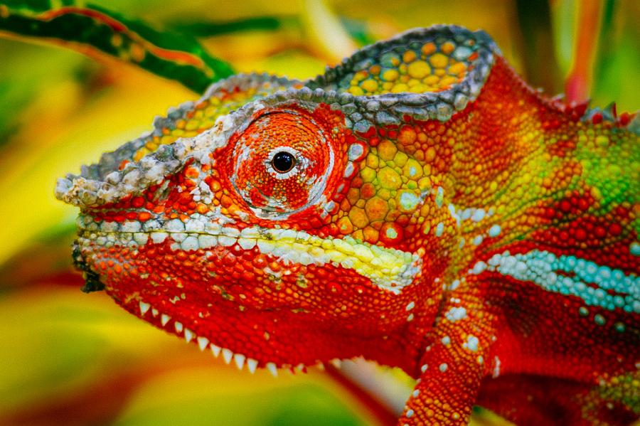 Madagascar 5R8UP DX News Chameleon