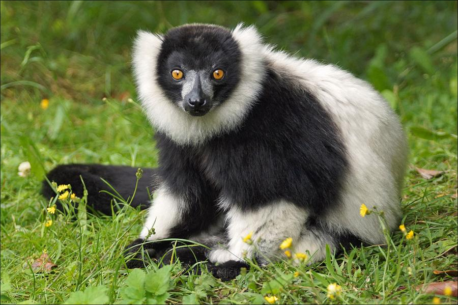Madagascar Island 5R8UP Black and white ruffed Lemur
