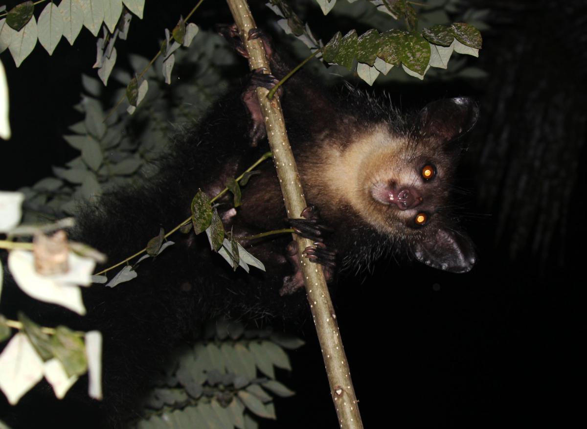 Ай Ай Мадагаскарская руконожка, Мадагаскар
