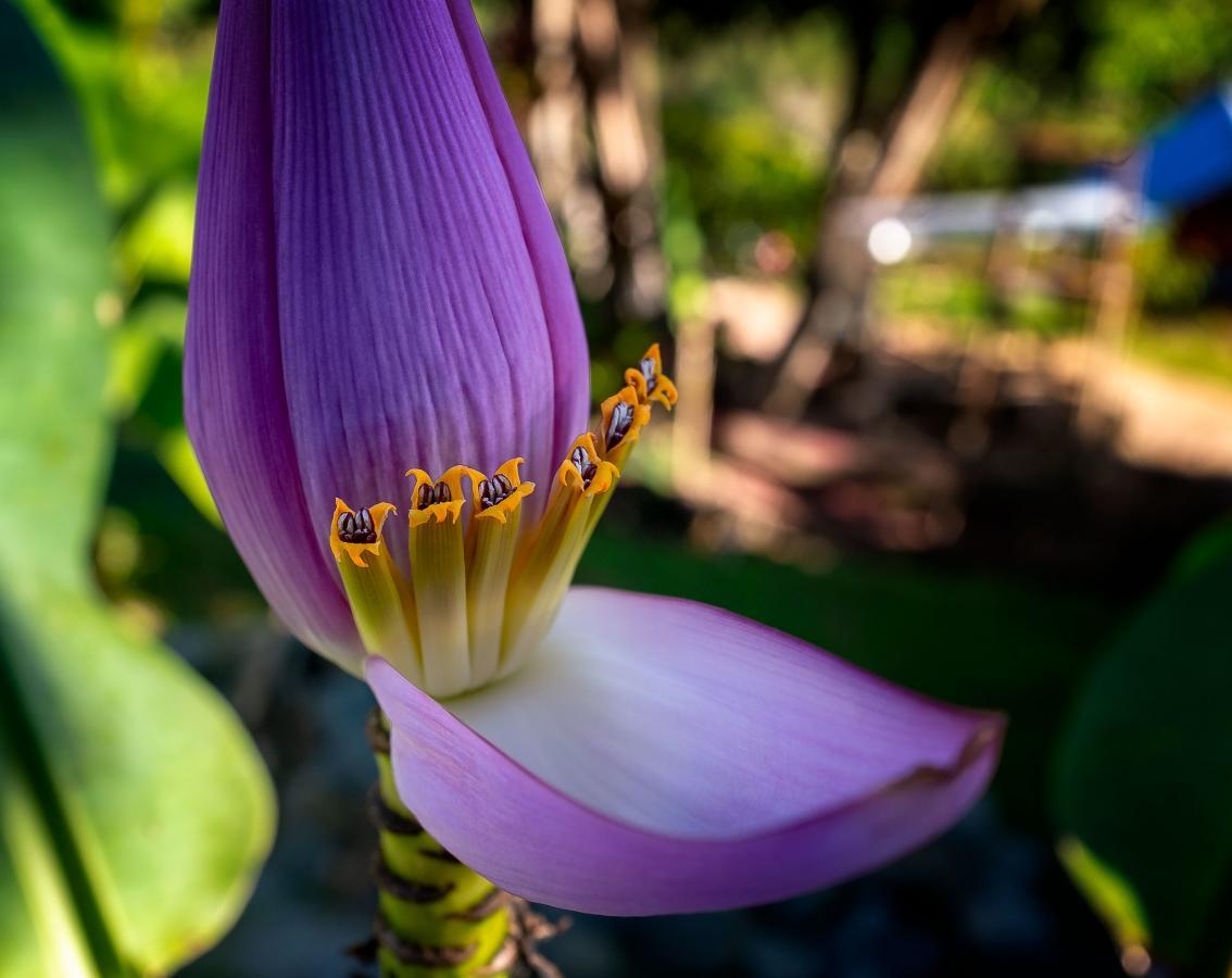 Цветок банана Мадагаскар