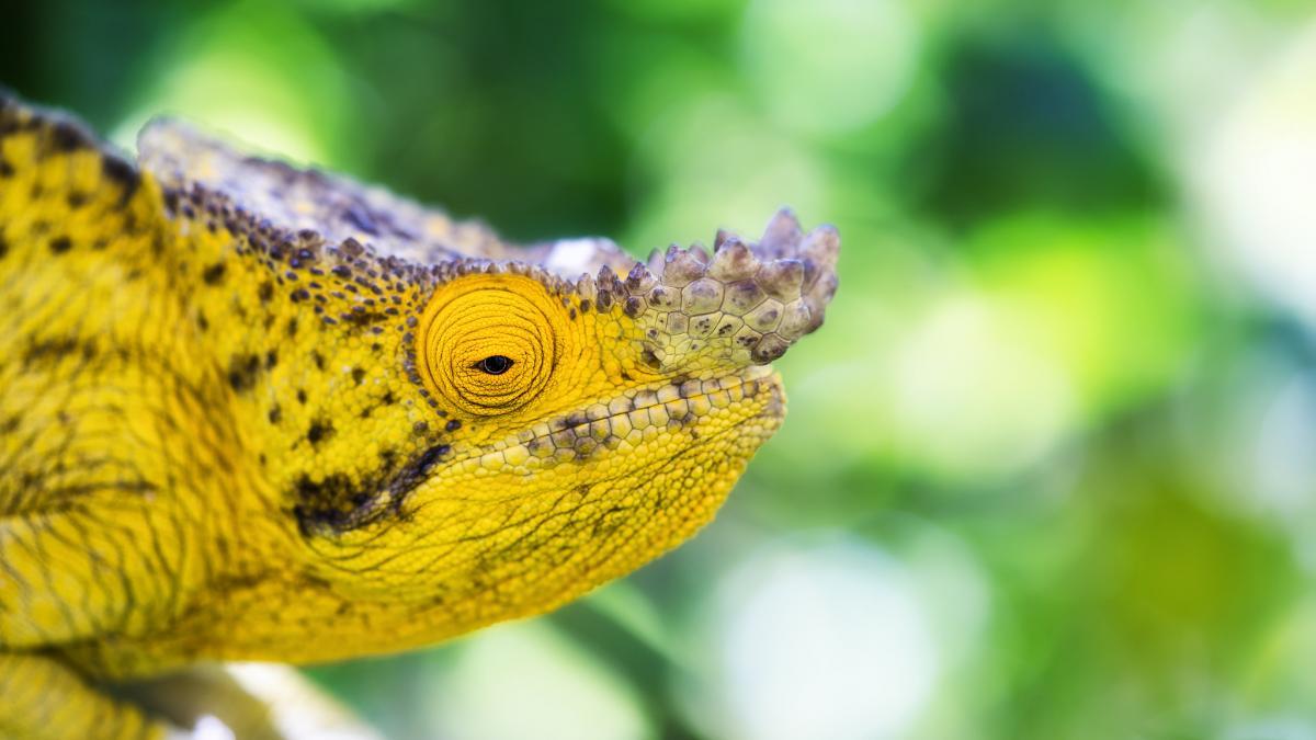 Хамелеон Мадагаскар