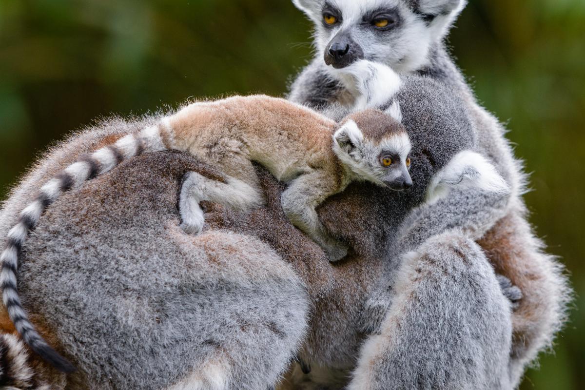 Лемуры Мадагаскар