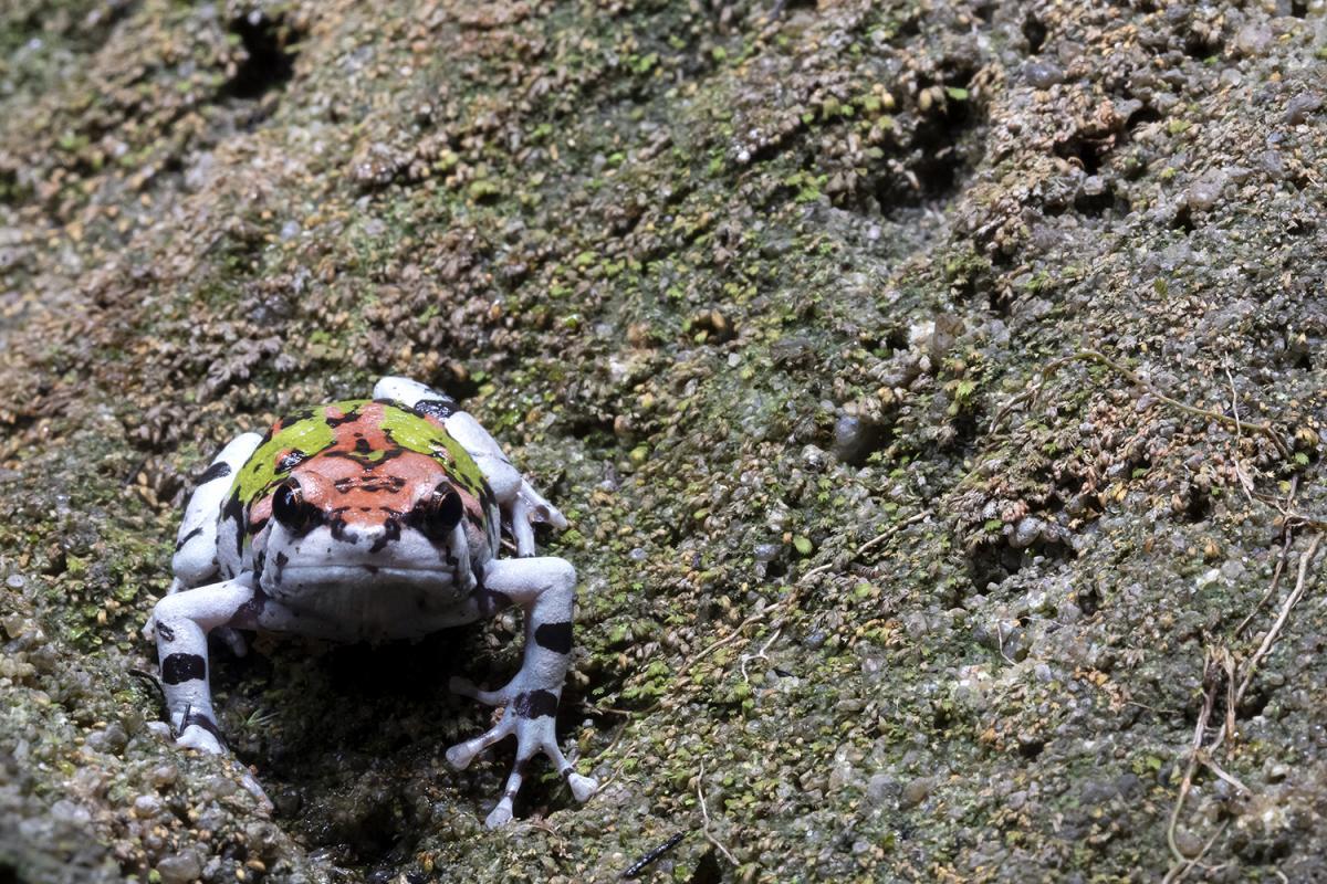 Радужная лягушка, Национальный парк Исало, Мадагаскар