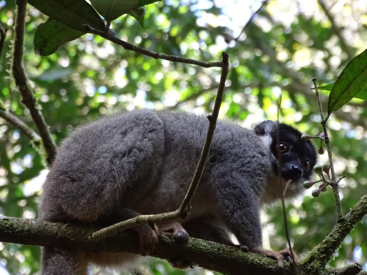 Лемур, Аналамазаотра, Мадагаскар
