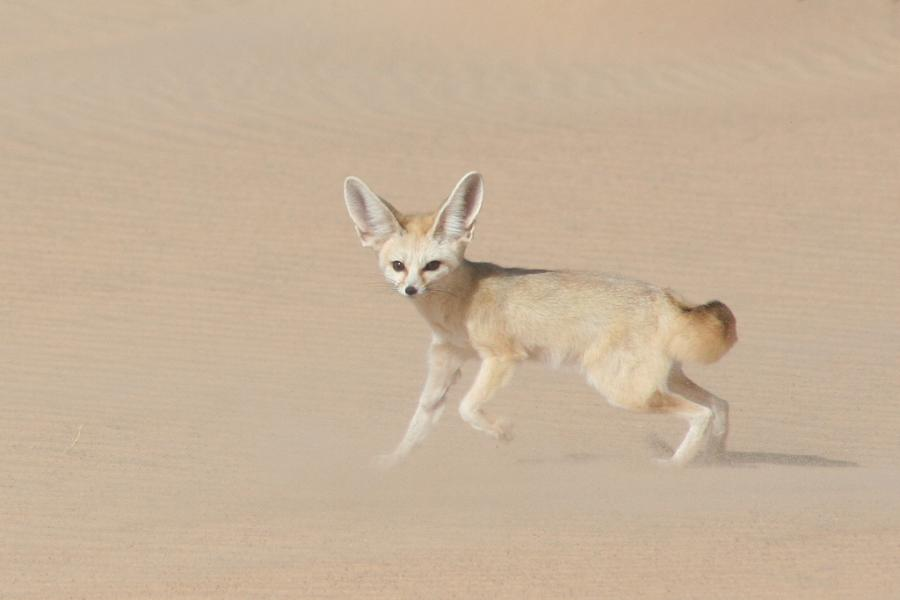 Mauritania 5T9VB Tourist attractions spot Fennec