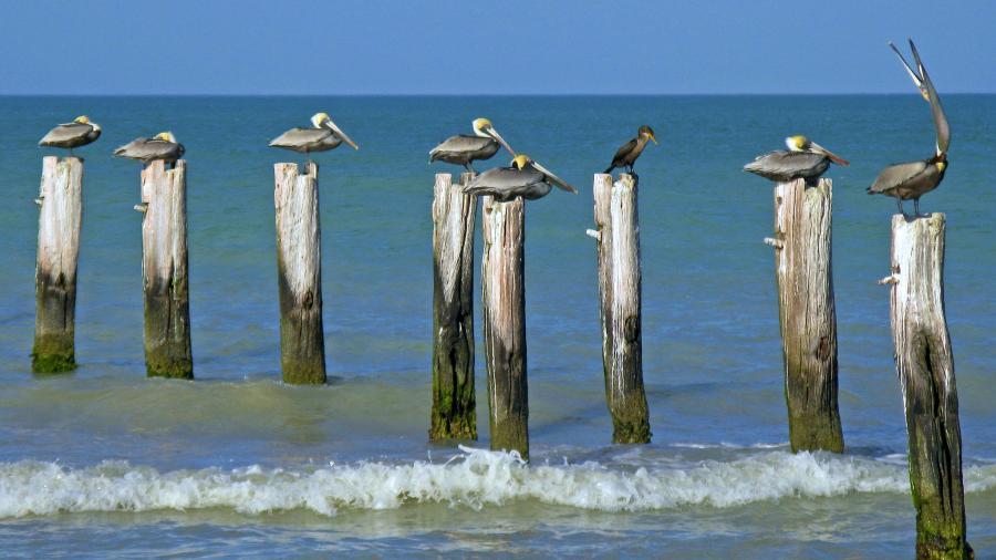 Mexico XE3/SP7VC Tourist attractions spot Pelicans, Rio Lagartos, Yucatan.