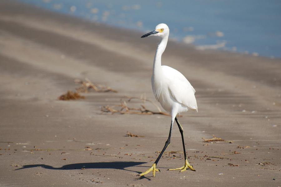 Mustang Island N5WR/5 Tourist attractions spot Snowy Egret
