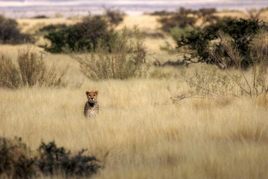 Namibia V51/HB9JAB DX News Cheetah