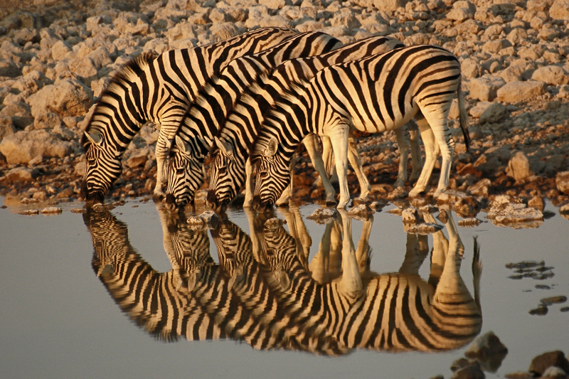 Namibia V51/HB9JAB Zebras, Okaukuejo, Oshikoto