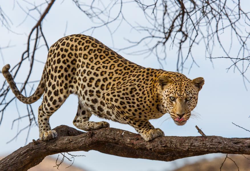 Namibia V51/TA1HZ DX News Leopard