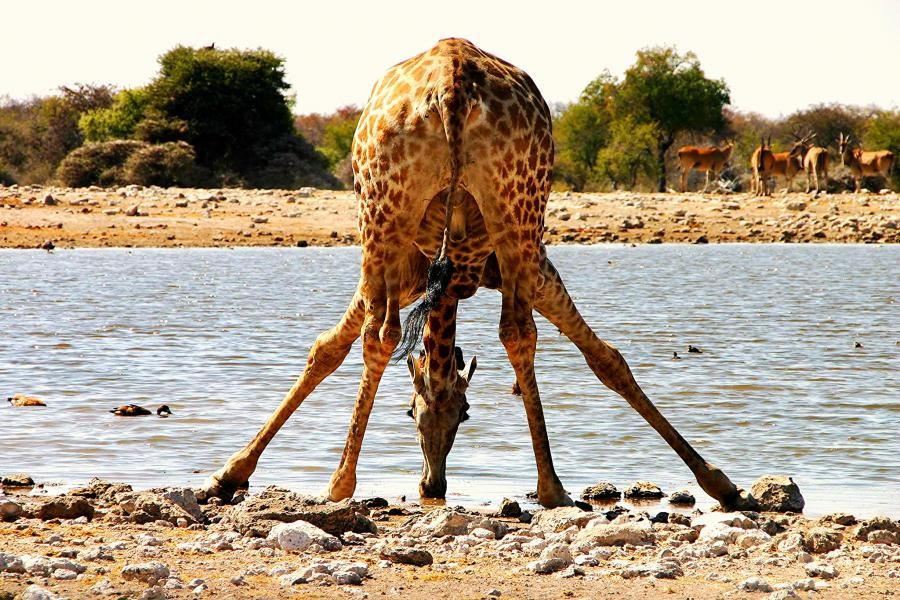 Namibia V51/TA1HZ Tourist attractions spot Giraffe, Etosha National Park.