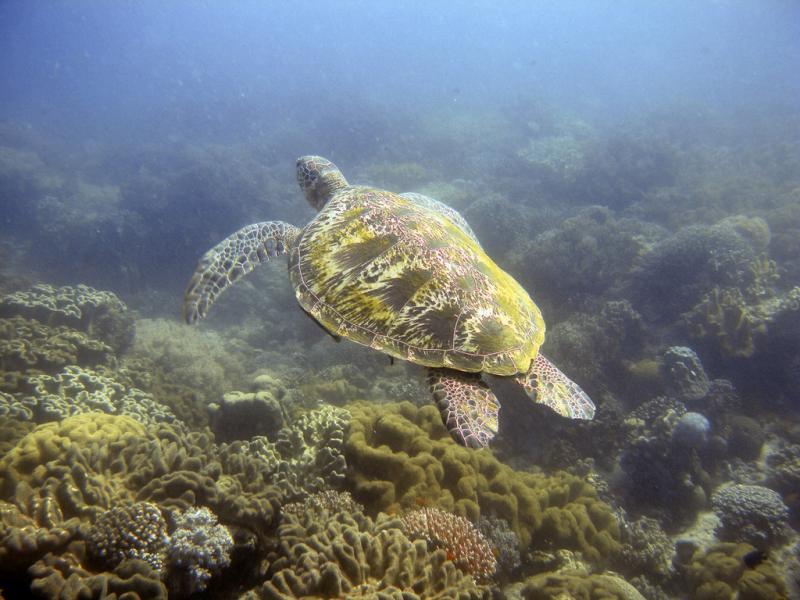 Остров Негрос Висайские острова 4F7OC Туристические достопримечательности Зеленая черепаха.