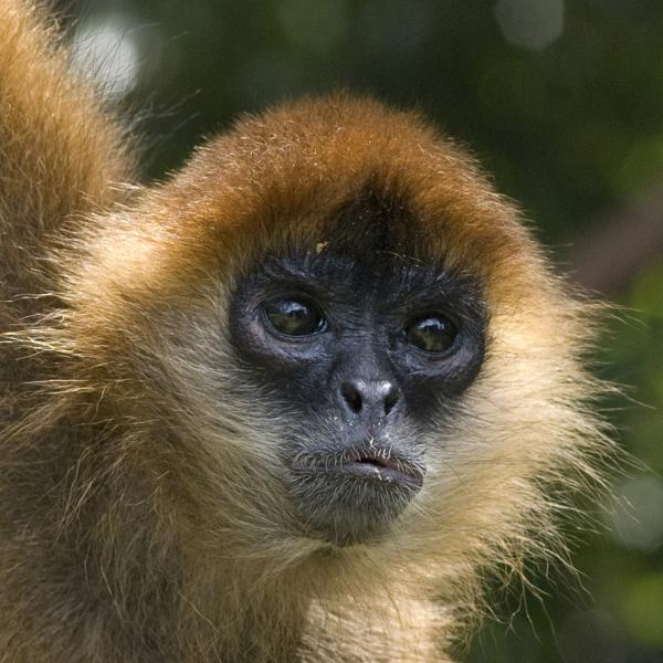 Nicaragua YN2KW DX News Mantled Howler Monkey.