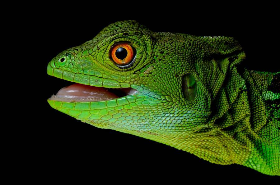 Nicaragua YN2KW Green Basiliscus, Bartola, Rio San Juan.