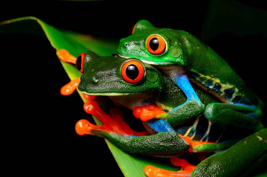 Nicaragua YN2MG YN2WL YN2MF Red eyed tree frog.