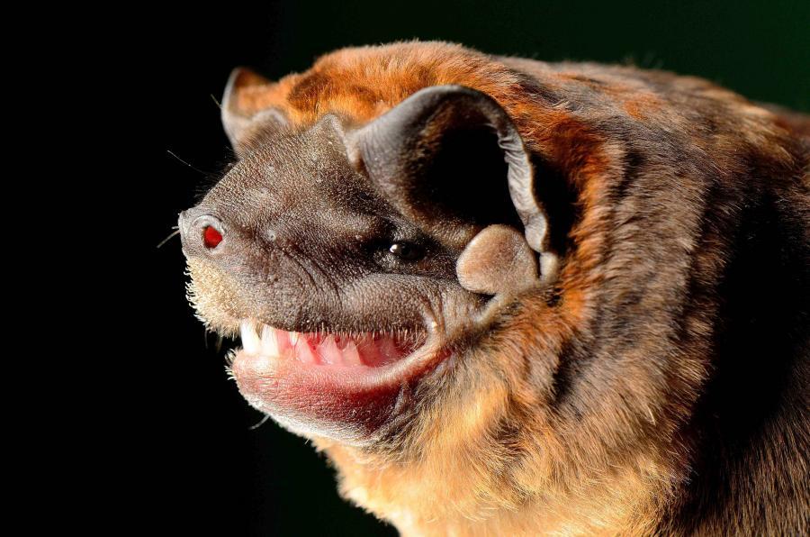 Nicaragua YN2NB DX News Big crested mastiff bat, Santa Teresa, Carazo.