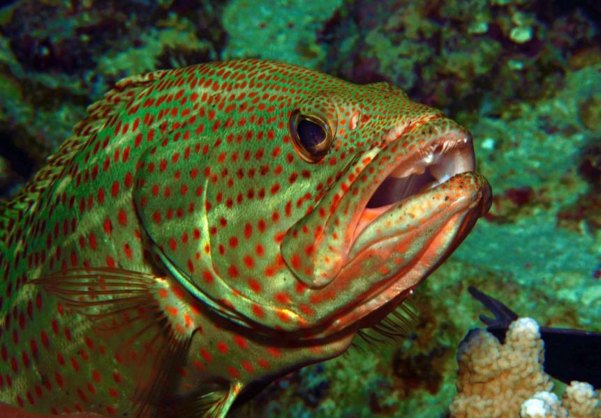 Nunukan Island YB3MM/7 Grouper