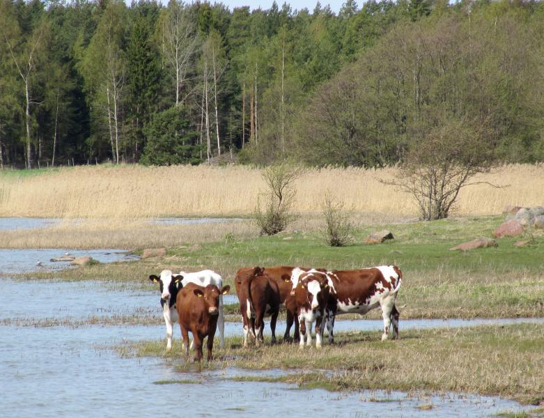 Aland Islands OF0KA DX News Cows