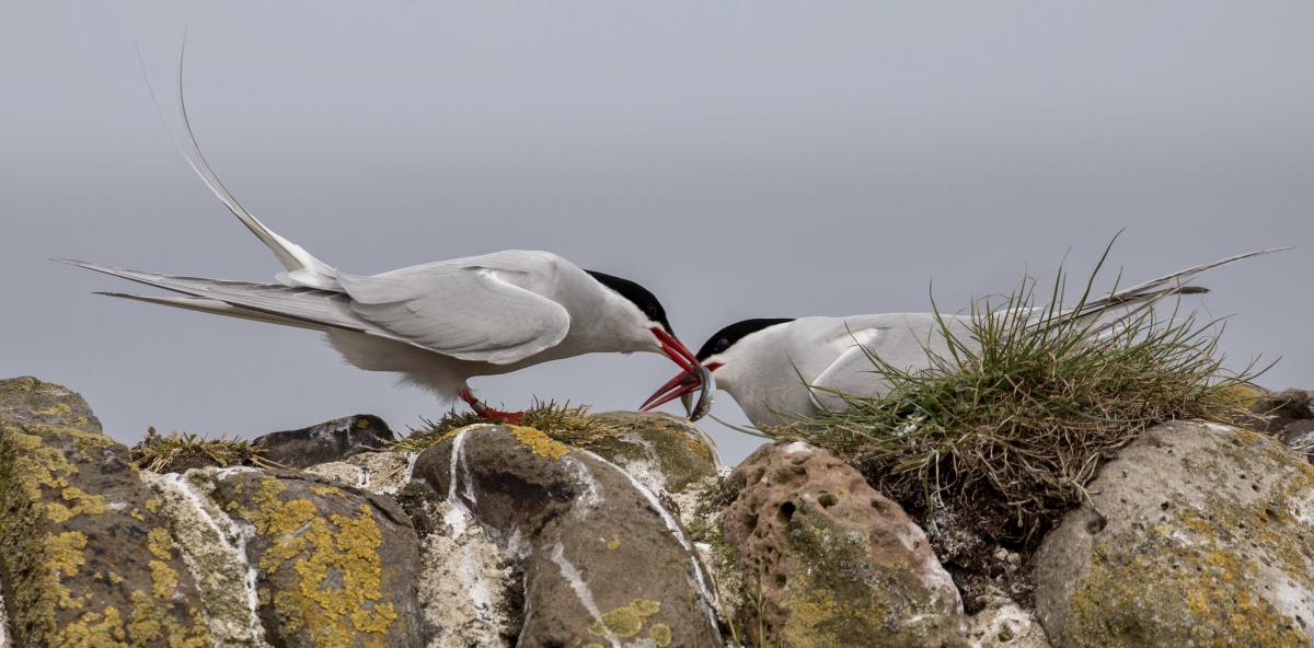 OX7A Arctic Terns, Greenland. Tourist attractions spot
