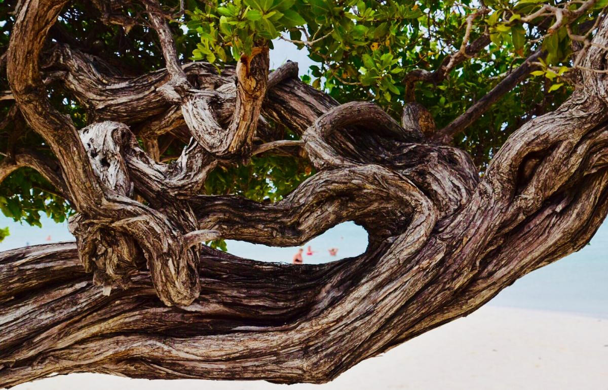 P4/PH2M Smiling Tree, Aruba Island.