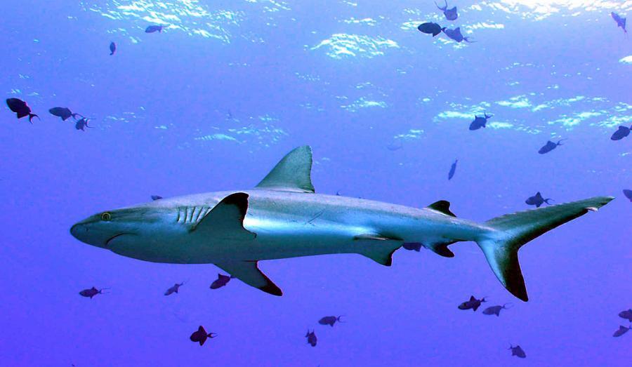 Koror Island Palau T88IH T88FT T88TA Shark