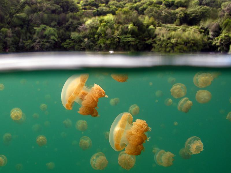 Палау T88AX Туристические достопримечательности Озеро медуз.