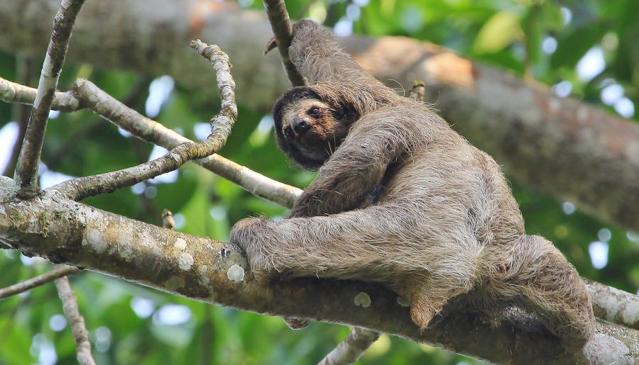 Panama HP/SQ3RX Tourist attractions spot Brown-throated Three-toed Sloth.