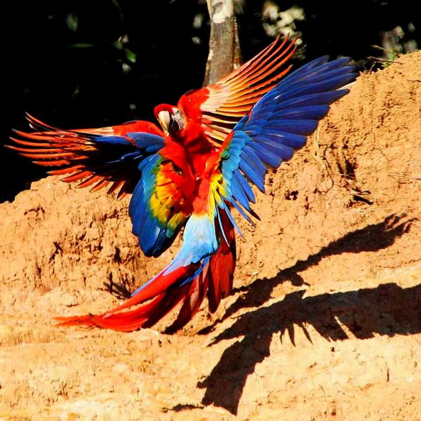 Peru OA4O Tourist attractions spot Macaws, Manu Wildlife Center.