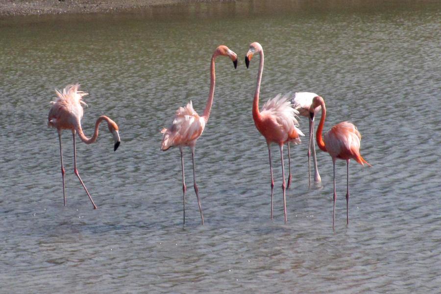 PJ2/SV2AEL Flamingo, Curacao Island