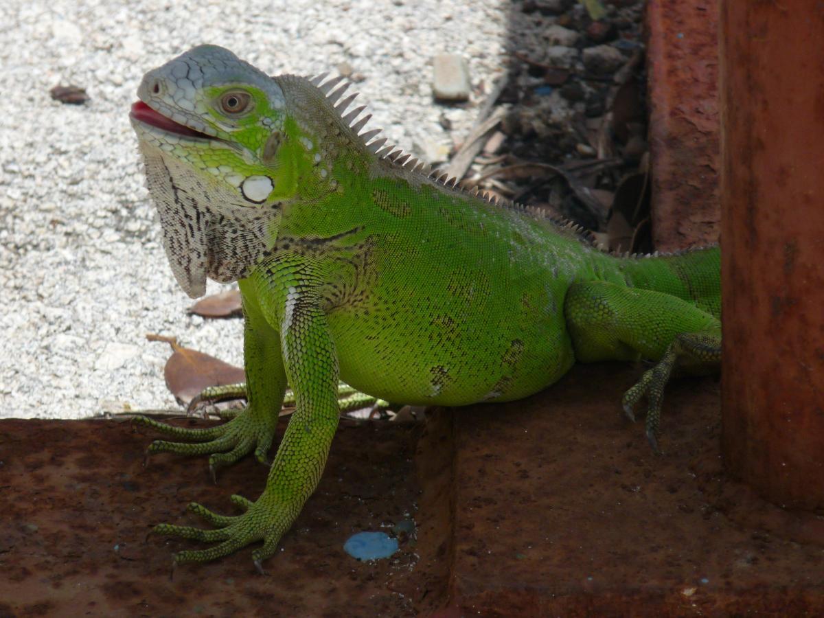 PJ4E PJ4I Bonaire Island Tourist attractions spot K9ES/PJ4 AD4ES/PJ4 Green Iguana