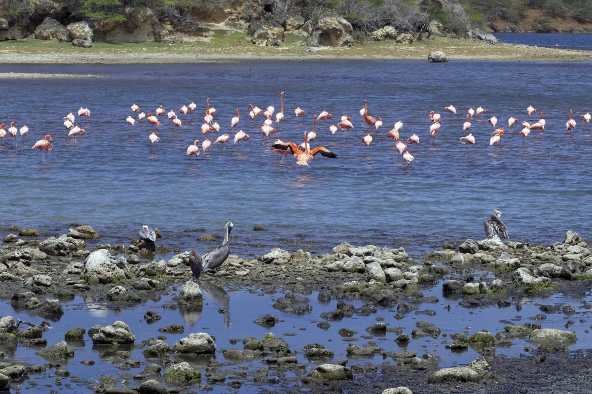 PJ4P Цапли, Пеликаны, Фламинго, остров Бонэйр. DX Новости