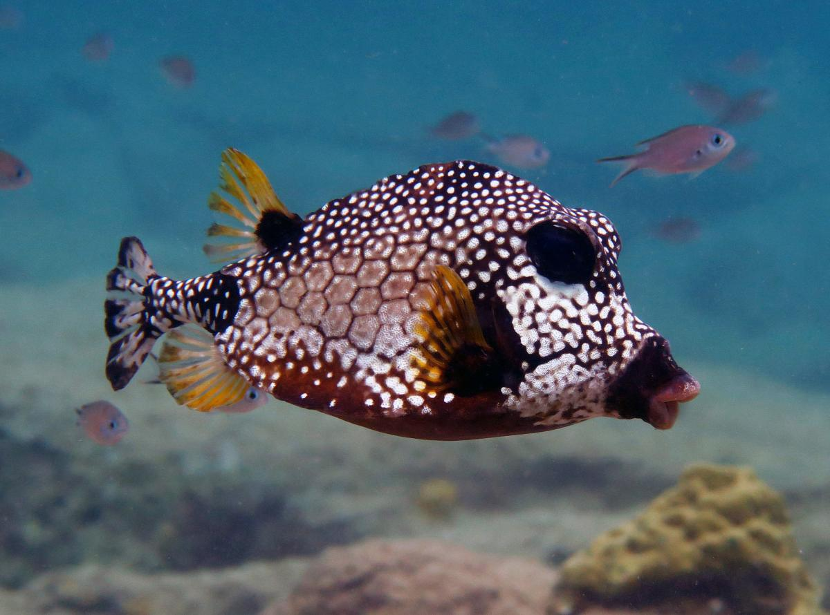 PJ4P Smooth Trunkfish, Bonaire Island. Tourist attractions spot
