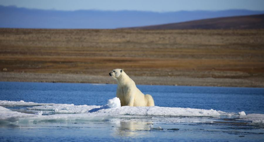 Prince of Wales Island KL7/VE7ACN DX News Polar Bear Relaxing. Alaska.