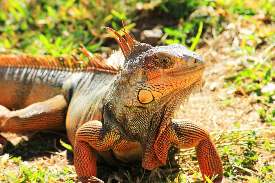 Puerto Rico NP4DX DX News Iguana
