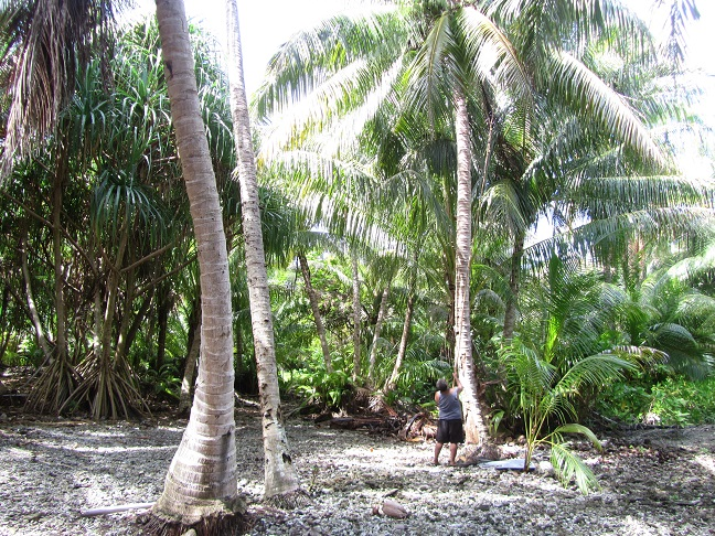 Pukapuka Atoll Harvesting coconuts.