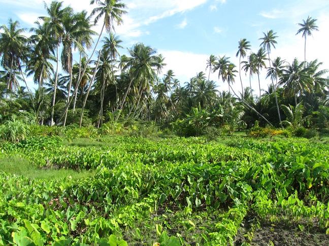 Pukapuka Atoll Taro plantation.