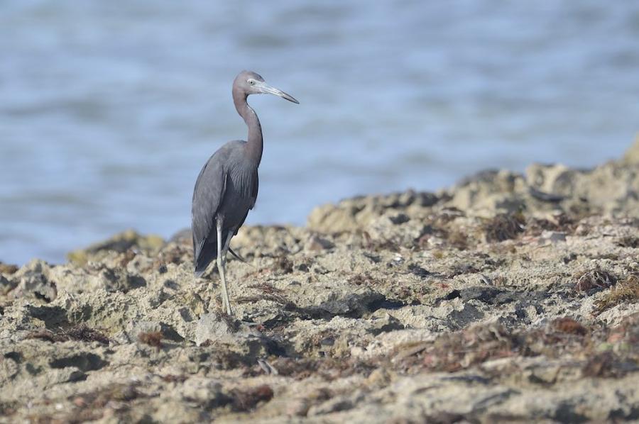 Punta Cana Dominican Republic HI7/IU4FMR DX News Little Blue Heron.