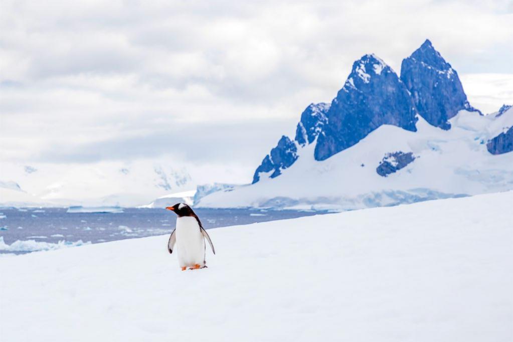RI1ANV Gentoo Penguin, Danco Island, Antarctica. DX News