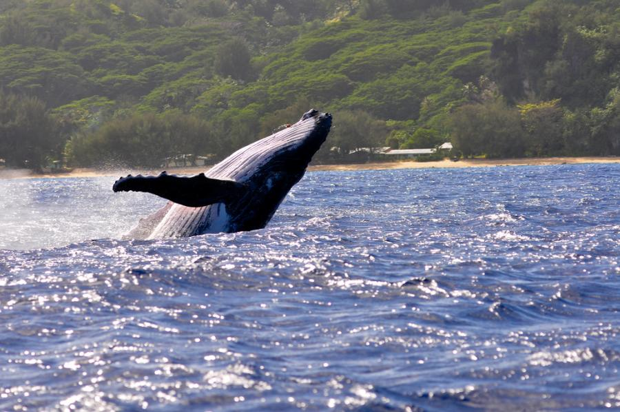 Rurutu Island FO/JI1JKW Tourist attractions spot Austral Islands Humpback whales