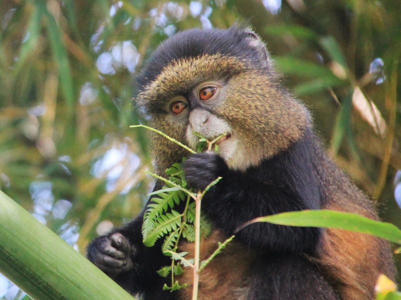 Rwanda 9X2AW DX News Golden Monkey, Volcanoes National Park.