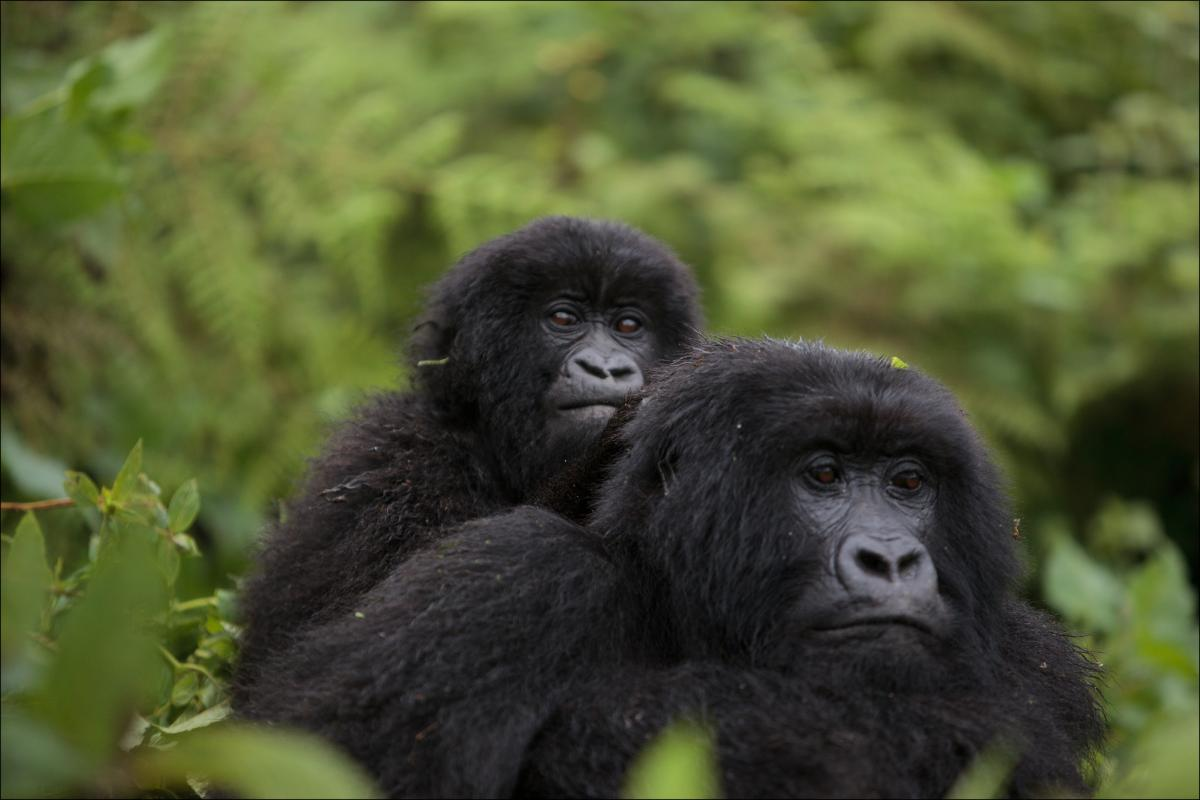 Rwanda 9X2LS Tourist attractions spot Gorillas