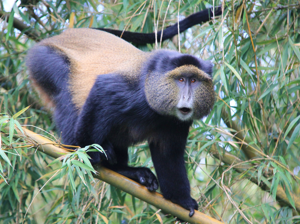 Rwanda 9X2LS Golden Monkey, Volcanoes National Park