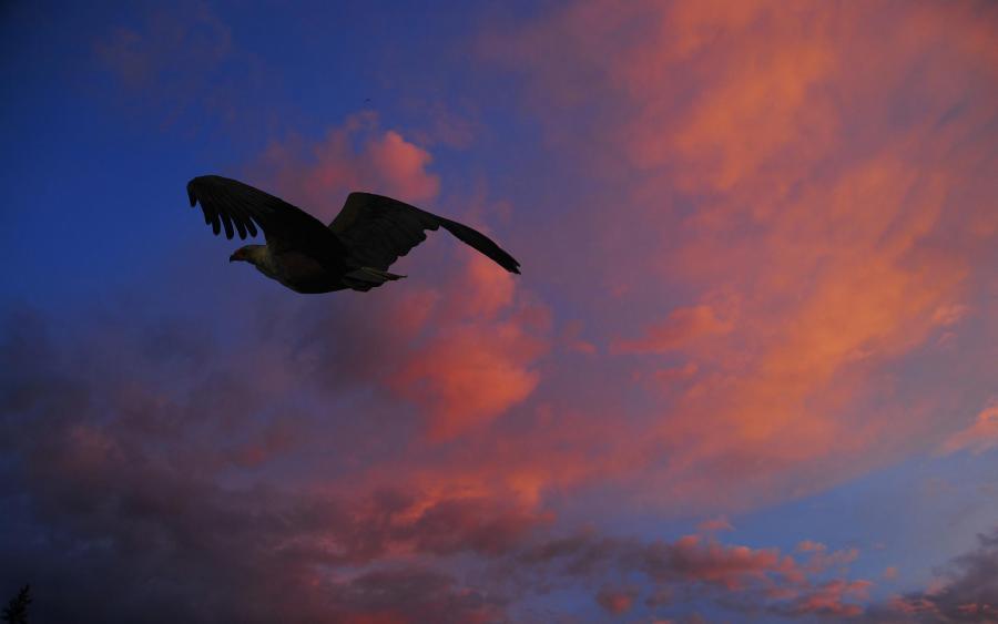 Rwanda 9XB954 DX News African Fish Eagle, Akagera National Park.