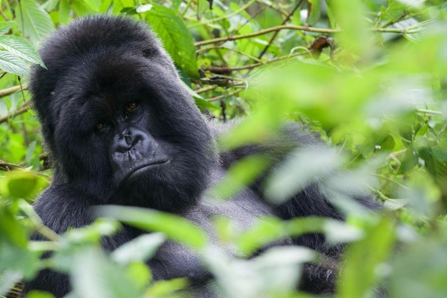 Rwanda 9XB954 Silverback Gorilla.