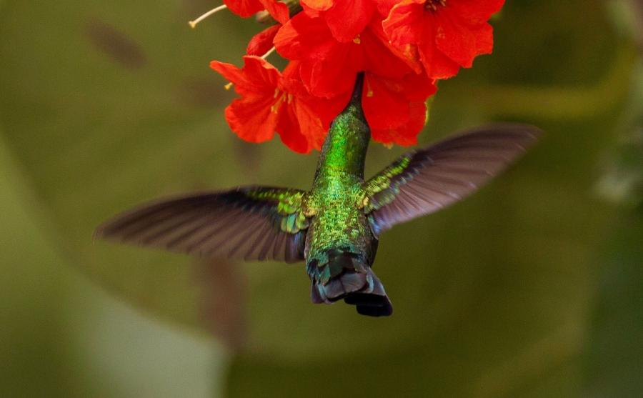 Saint Kitts Island V43Z Green-throated Carib Hummingbird (Eulampis holosericeus).