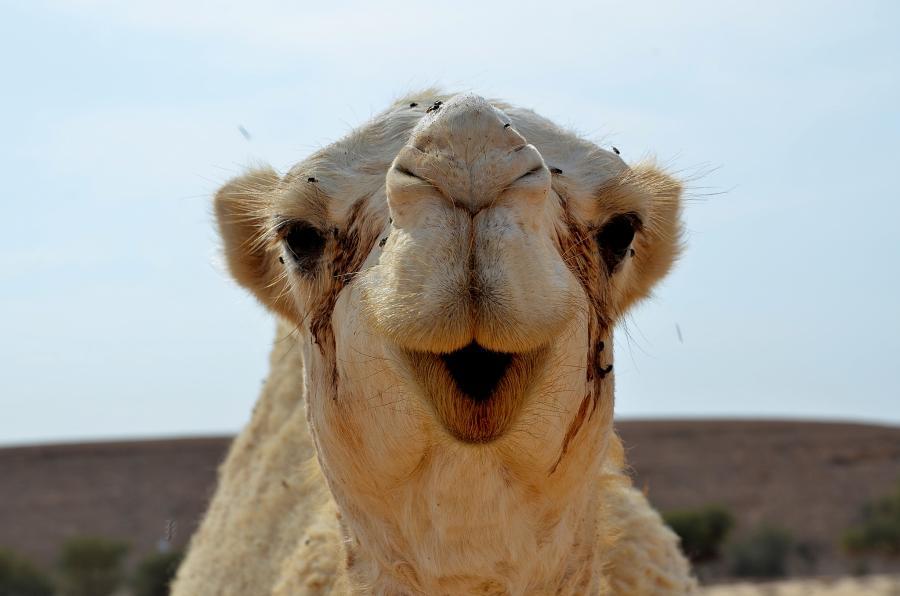 Saudi Arabia 7Z1ES DX News Camel
