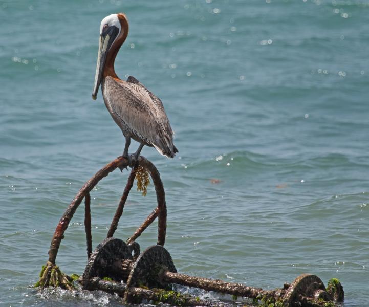 Saint Kitts Island V4/N8WD V4/K4ZGB Tourist attractions spot Pelican