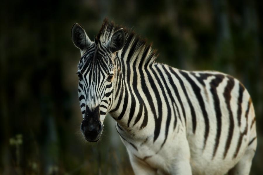 Swaziland 3DA0FA DX News Zebra, Milwane Game Reserve