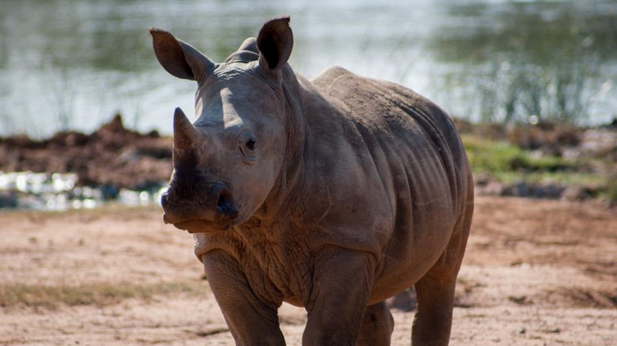 Swaziland 3DA0MB Tourist attractions spot White Rhino, Hlane National Park