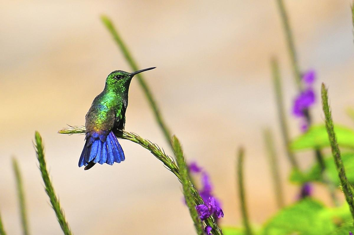 TI7/K5SGE TI7/W5AP TI7/WA0D Blue Tailed Hummingbird, Costa Rica. Tourist attraction spot